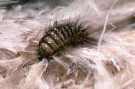 Carpet Beetle Control Dewsbury