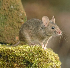 Mice Control Knottingley