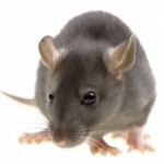 Rat Control Brighouse