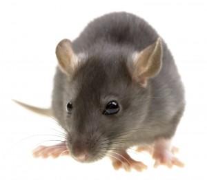 Rat Control Ossett